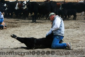 CWHolding the calf down