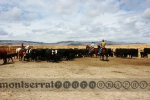 CWrounding up cows 01