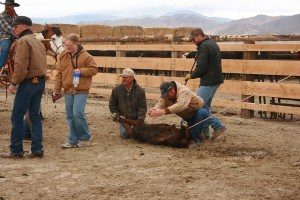 Castrating the bull calves